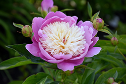 Bowl Of Beauty Peony (Paeonia 'Bowl Of Beauty') at Culver's Garden Center