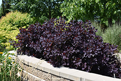Royal Purple Smokebush (Cotinus coggygria 'Royal Purple') at Culver's Garden Center