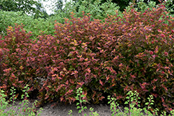 Amber Jubilee™ Ninebark (Physocarpus opulifolius 'Jefam') at Culver's Garden Center