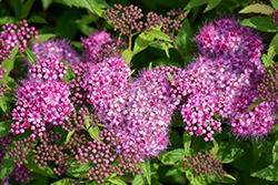 Anthony Waterer Spirea (Spiraea x bumalda 'Anthony Waterer') at Culver's Garden Center
