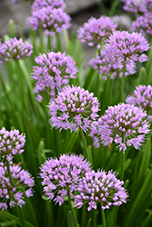 Summer Beauty Ornamental Chives (Allium tanguticum 'Summer Beauty') at Culver's Garden Center