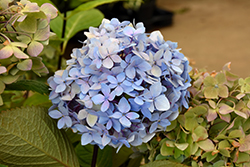 Blue Enchantress Hydrangea (Hydrangea macrophylla 'Monmar') at Culver's Garden Center