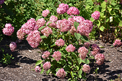 Invincibelle® Ruby Smooth Hydrangea (Hydrangea arborescens 'NCHA3') at Culver's Garden Center