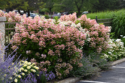 Quick Fire® Hydrangea (Hydrangea paniculata 'Bulk') at Culver's Garden Center