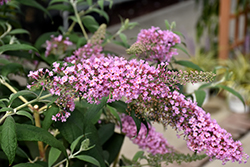 Pink Delight Butterfly Bush (Buddleia davidii 'Pink Delight') at Culver's Garden Center