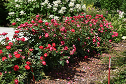 Oso Easy Double Red® Rose (Rosa 'Meipeporia') at Culver's Garden Center