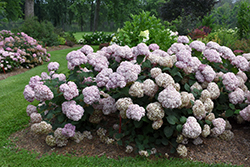 Incrediball® Blush Smooth Hydrangea (Hydrangea arborescens 'NCHA4') at Culver's Garden Center