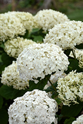 Invincibelle® Wee White Hydrangea (Hydrangea arborescens 'NCHA5') at Culver's Garden Center