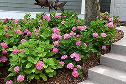 Let's Dance® Rhythmic Blue™ Hydrangea (Hydrangea macrophylla 'SMHMES14') at Culver's Garden Center