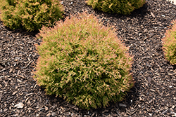 Fire Chief™ Arborvitae (Thuja occidentalis 'Congabe') at Culver's Garden Center