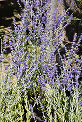 Little Spire Russian Sage (Perovskia 'Little Spire') at Culver's Garden Center