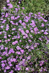 Pink Creeping Baby's Breath (Gypsophila repens 'Rosea') at Culver's Garden Center