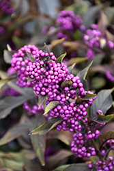 Pearl Glam® Beautyberry (Callicarpa 'NCCX2') at Culver's Garden Center