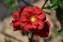 Double Take Scarlet™ Flowering Quince (Chaenomeles speciosa 'Double Take Scarlet Storm') at Culver's Garden Center