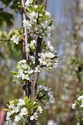 BlackIce Cherry-Plum (Prunus 'Lydecker') at Culver's Garden Center