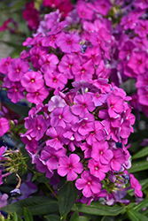 Purple Flame Garden Phlox (Phlox paniculata 'Purple Flame') at Culver's Garden Center