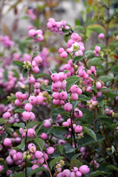 Candy™ Coralberry (Symphoricarpos x doorenbosii 'Kolmcan') at Culver's Garden Center